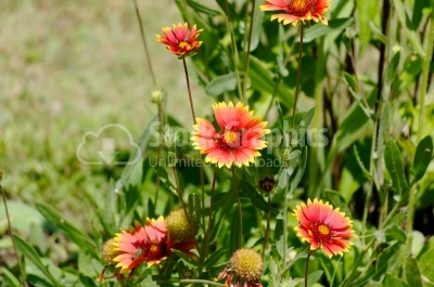 Yellow Tipped Red Flower