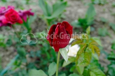 Red rose - Stock Image