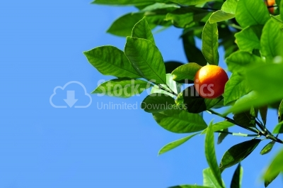 Branches with ripe tangerine