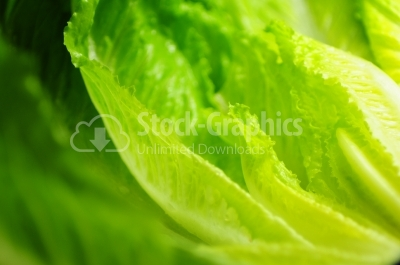 Image of lettuce as a background, closeup,macro