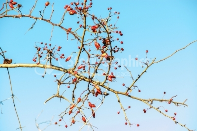 Dog-rose berries on sky background