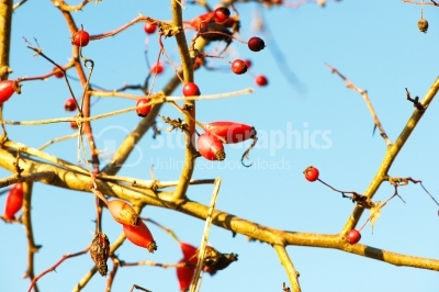 Rose hips on branch against the blue sky