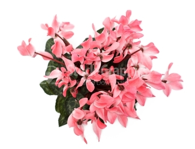 Beautiful pink Cyclamen flower on white background