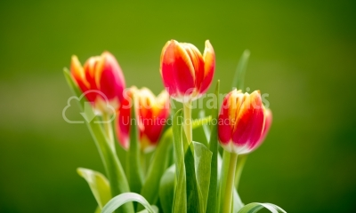 Beautiful bouquet of tulips. colorful tulips. tulips in spring,c