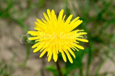 Bright spring natural dandelions