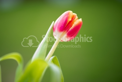 Tulip with blurred background