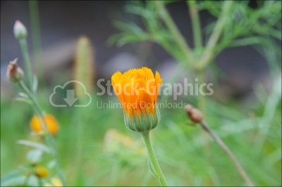 Delicate marigold flower close up background