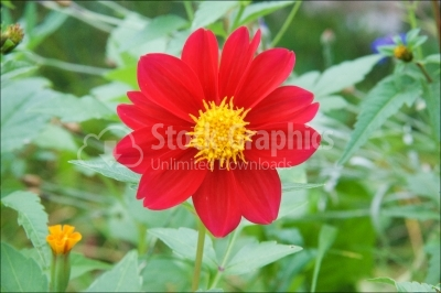 Single red zinnia