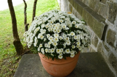 Pot of white flowering chrysanthemums
