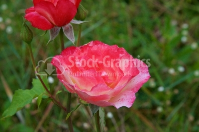 Great rose