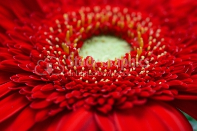 Red Gerber Daisy Macro Shot Of Petals