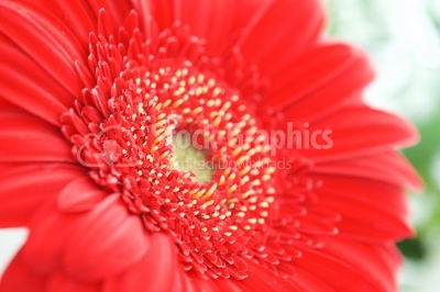 Red gerbera flower closeup view background