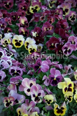 Purple color pansy flower bush in a summer season