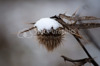 Fuller's teasel with snow, Dipsacus sativus, detail