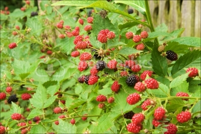Blackberry 'Veronique' Plant and Fruit (Rubus)