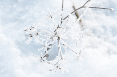 Snowy plants. Abstract winter background