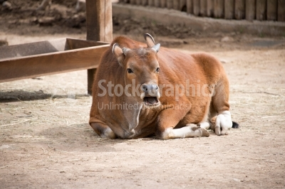 Red cow resting