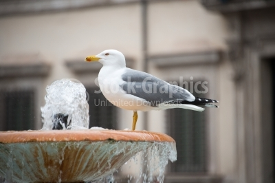 Seagull resting in a fountain