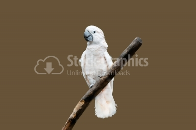 Cockatoo Isolated