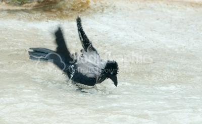 Hooded grey crow playing in water