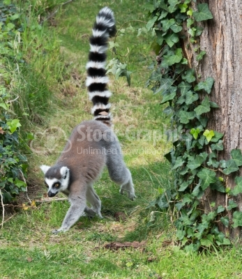 Lemur searching food