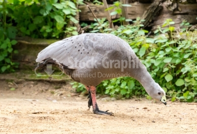 Chicken goose - Cape Barren goose