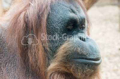 Orangutan side view