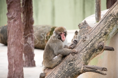 Baboon Monkey chilling in the zoo