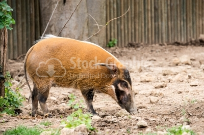 Red River Hog Side View