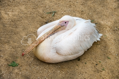 Pelican sitting on the ground