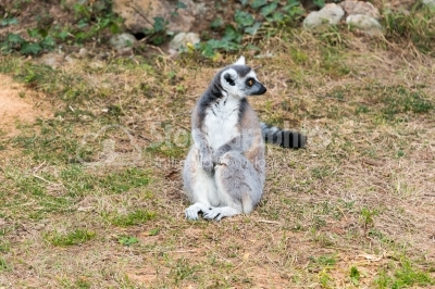 Lemur catta, ring tailed lemur Madagascar sun bathing on grass
