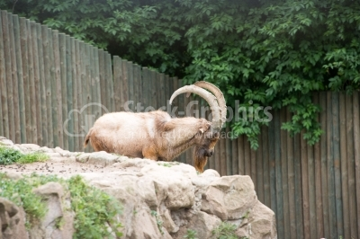 Aoudad (Barbary Sheep) resting on Rock