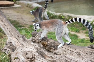 Lemur sitting on a tree