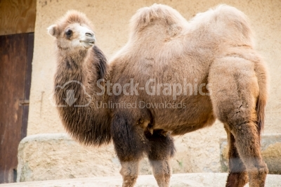 Camel side view