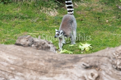 Lemur eating salad