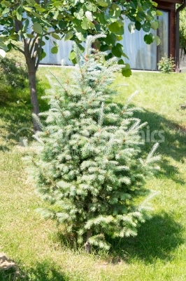 White fir bush in nature