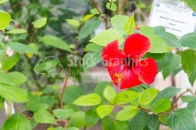 Blossomed vibrant-coloured hibiscus flower