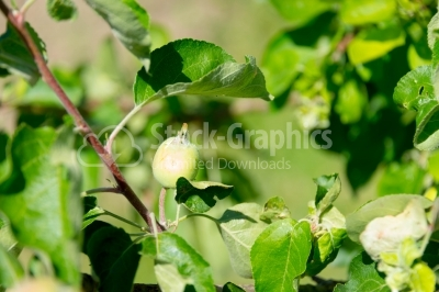 Green plum in the sun