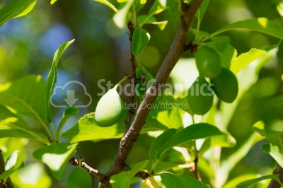Green plums in the summer
