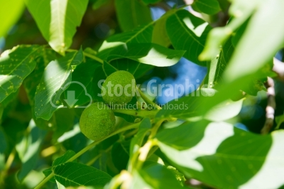 Walnut fruits in the tree