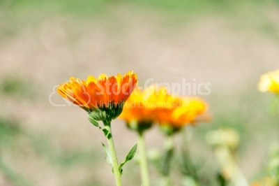 Marigold flowers in sun
