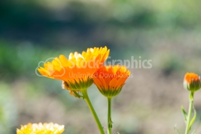 Marigold flowers blossoming in sunny environment
