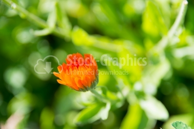 Marigold flower in the garden