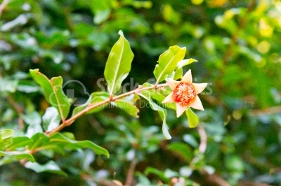 Flower of pomegranate tree