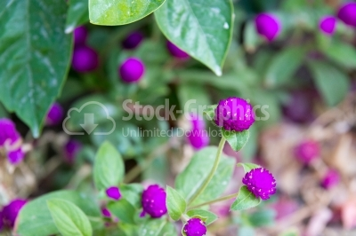 Blooming Globe Amaranth