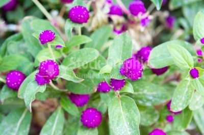 Fresh, purple flowers of globe amaranth
