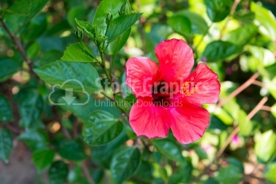 Garden of red hibiscus flower