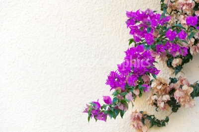 Large flowering spreading shrub of purple Bougainvillea tropical