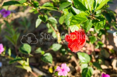Hibiscus in a blossomed garden