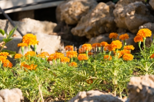 Orange French marigolds with stones on the background